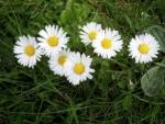 Ceaiul de flori de banutei, recomandat pentru tratarea migrenelor