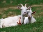 Calitatile extraordinare ale laptelui de capra
