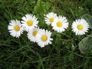 Flori de banutei tratament
